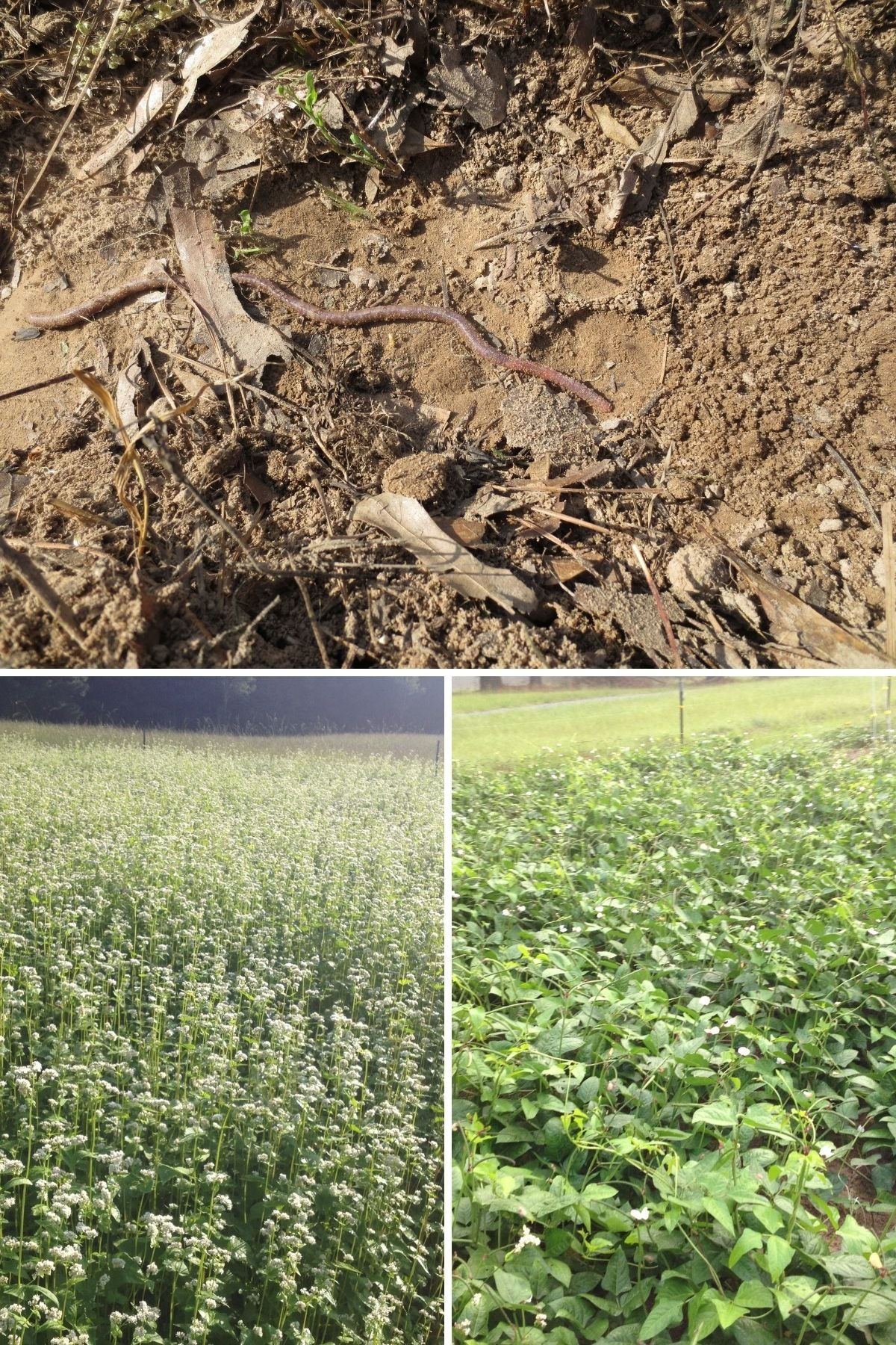cover crops for gardens collage featuring a field of cover crops and a huge worm living in the extremely fertile soil made by cover crops