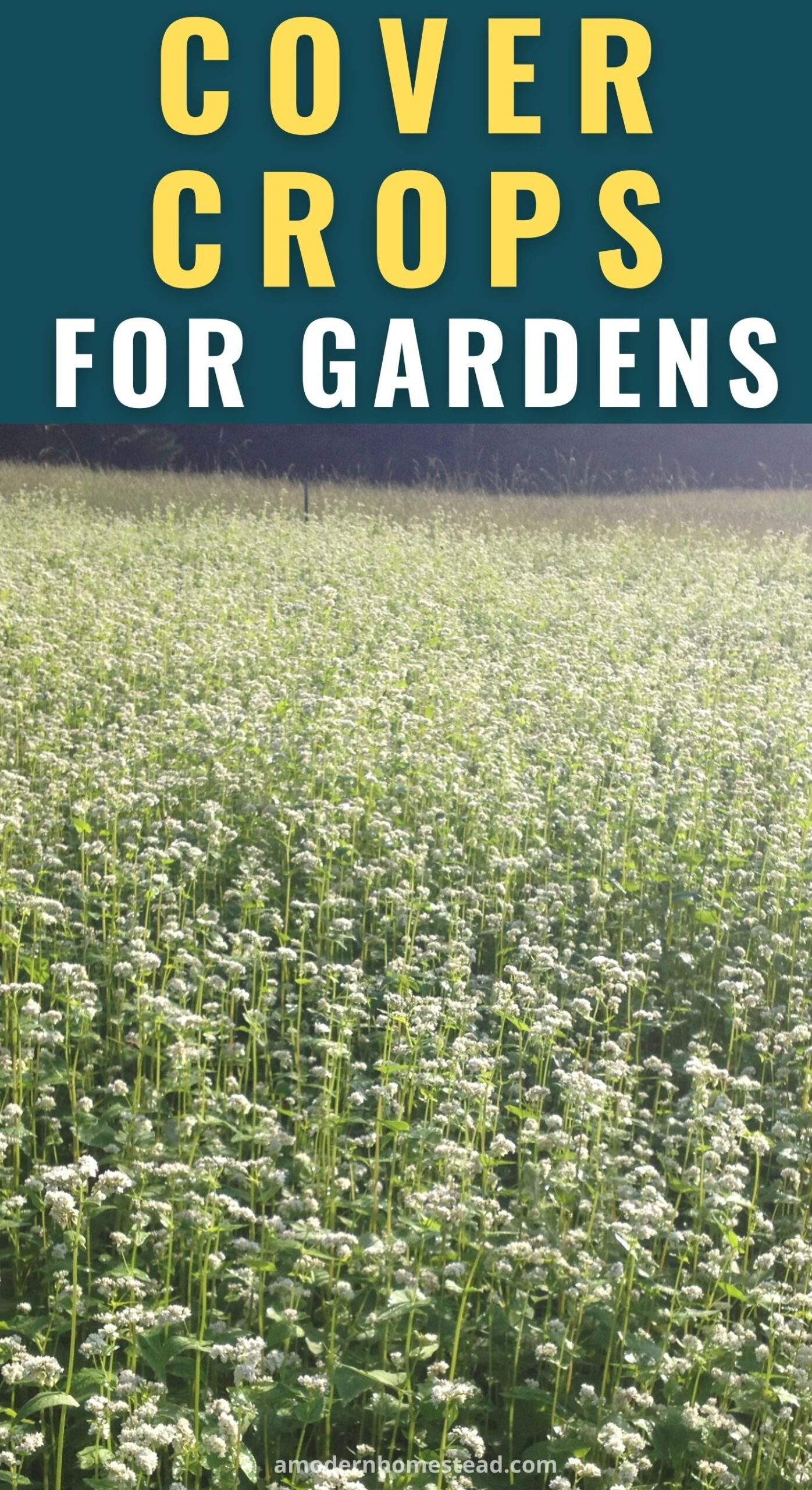 a field of clover flowering planted as a cover crop in a homestead garden