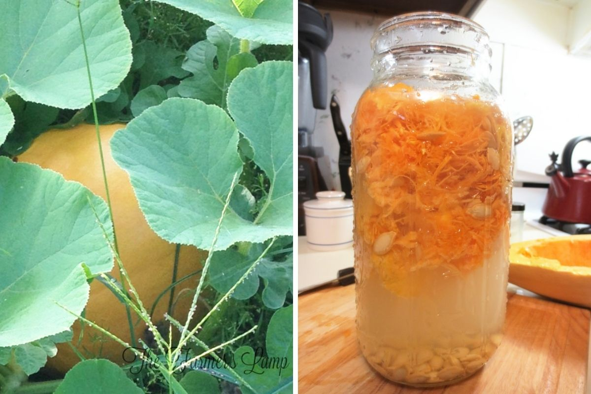 a collage featuring phases of growing winter squash varieties including a hidden squash peeking out, and a jar of seeds for winter squash seed storage