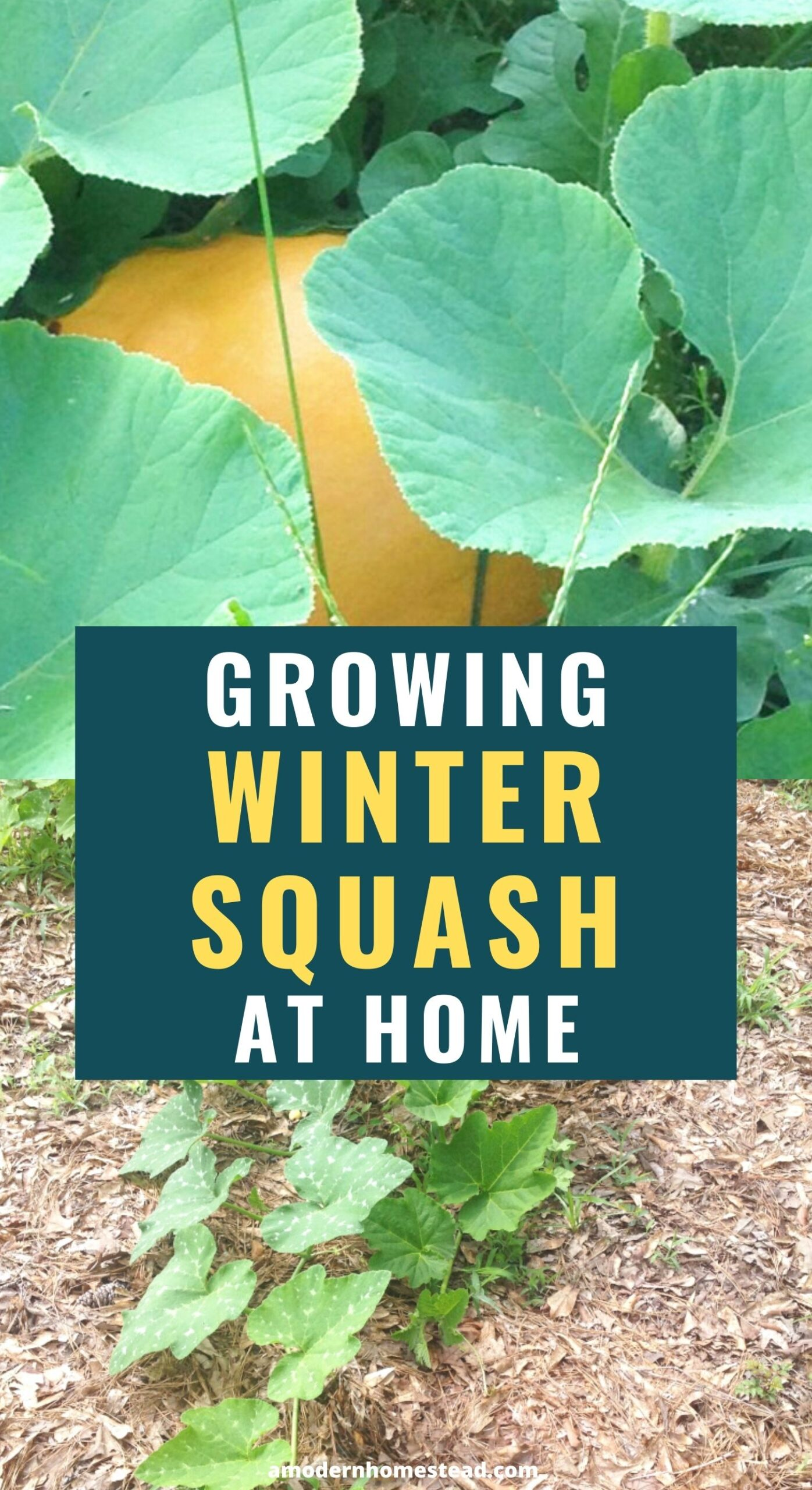 a collage featuring phases of growing winter squash varieties including the squash vine growing, a hidden squash peeking out, and a jar of seeds for winter squash seed storage