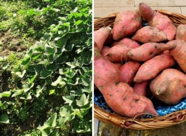 how to harvest and store sweet potatoes promo image featured sweet potato vines before harvest and after curing