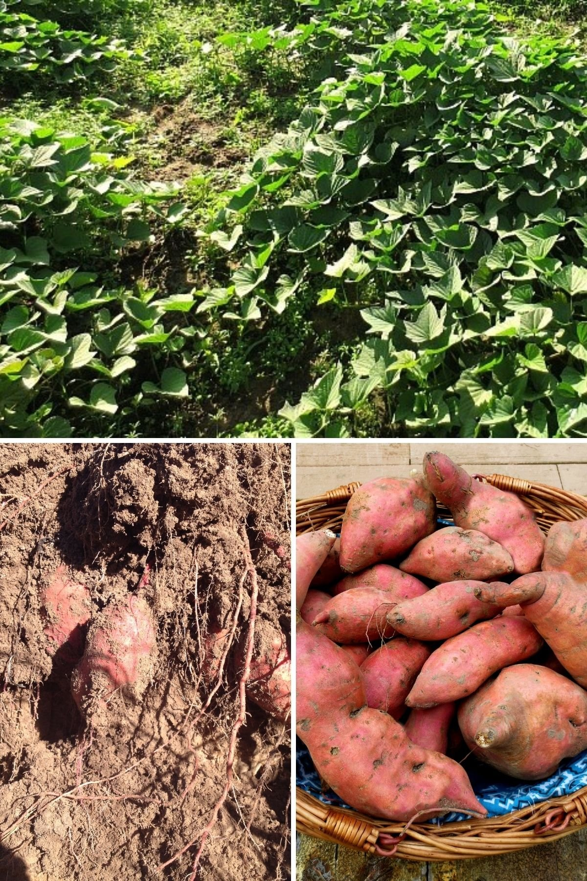 how to harvest and store sweet potatoes promo image featured sweet potatoes in the dirt and after curing and even the plants from before the harvest