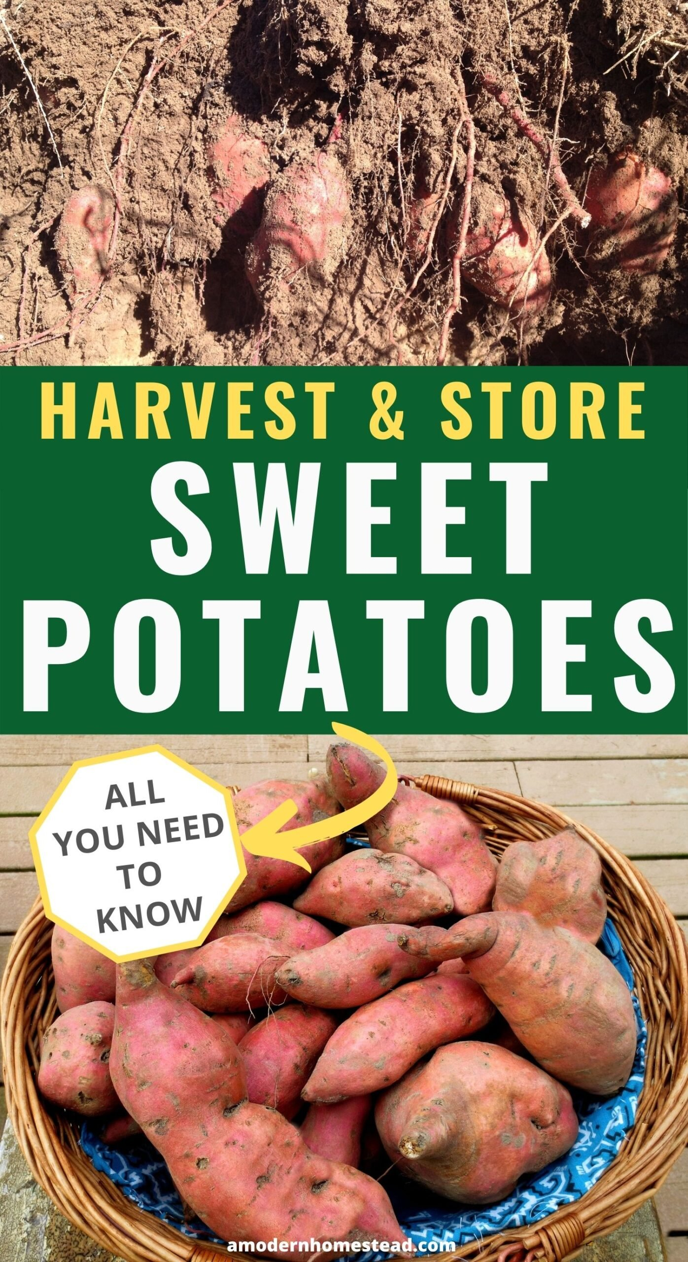 how to harvest and store sweet potatoes promo image featured sweet potatoes in the dirt and after curing