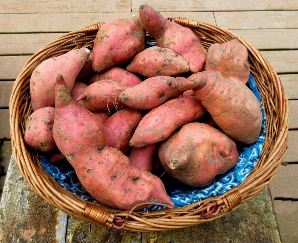 cured sweet potatoes in a basket