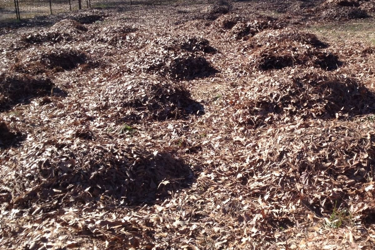 leaves spread out being used as mulch in deep mulch gardening